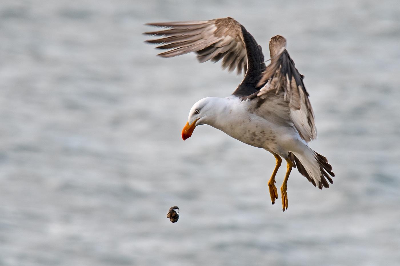 Pacific Gull (Image ID 34482)