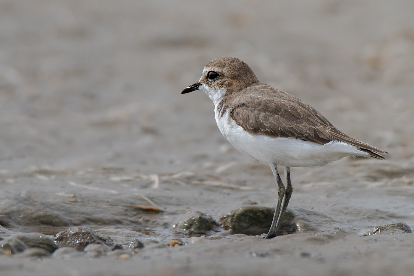 Red-capped Plover (Image ID 34495)
