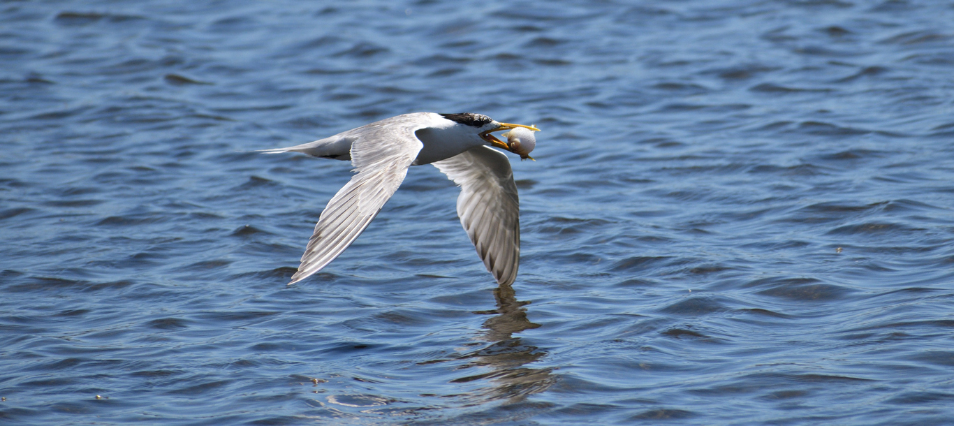 Crested Tern (Image ID 34390)