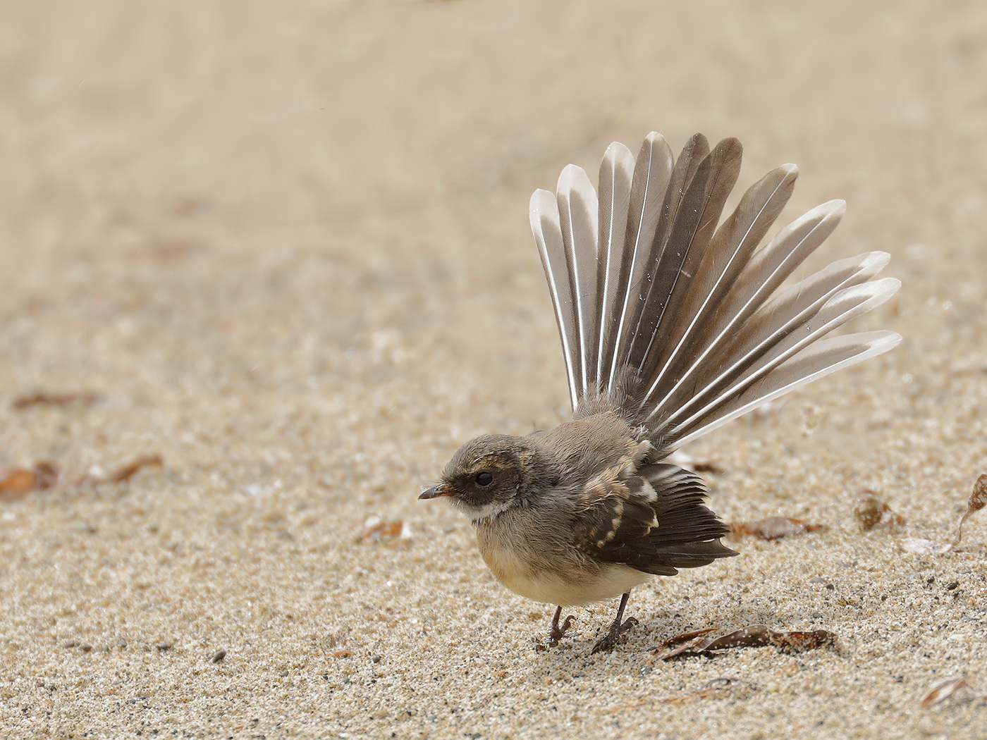 Grey Fantail (Image ID 34417)