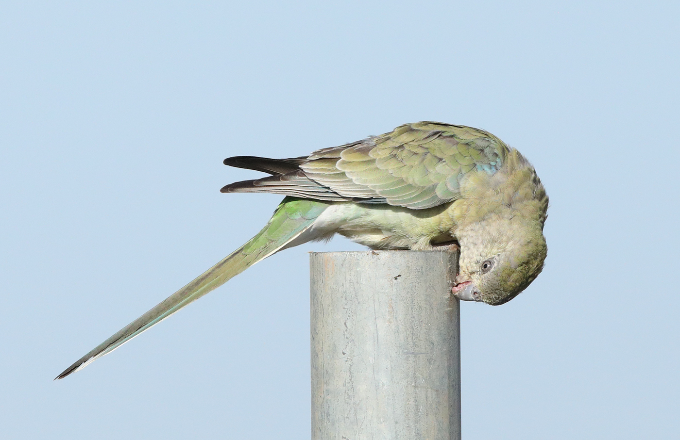 Red-rumped Parrot (Image ID 34394)