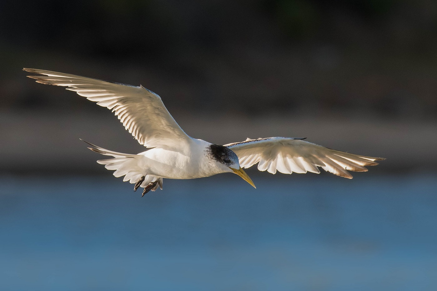 Crested Tern (Image ID 34405)