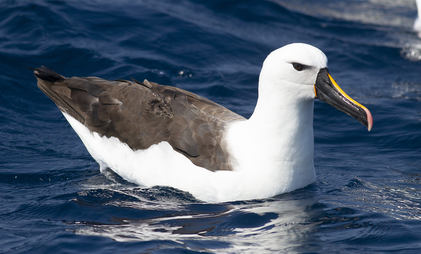 Indian Yellow-nosed Albatross (Image ID 34603)