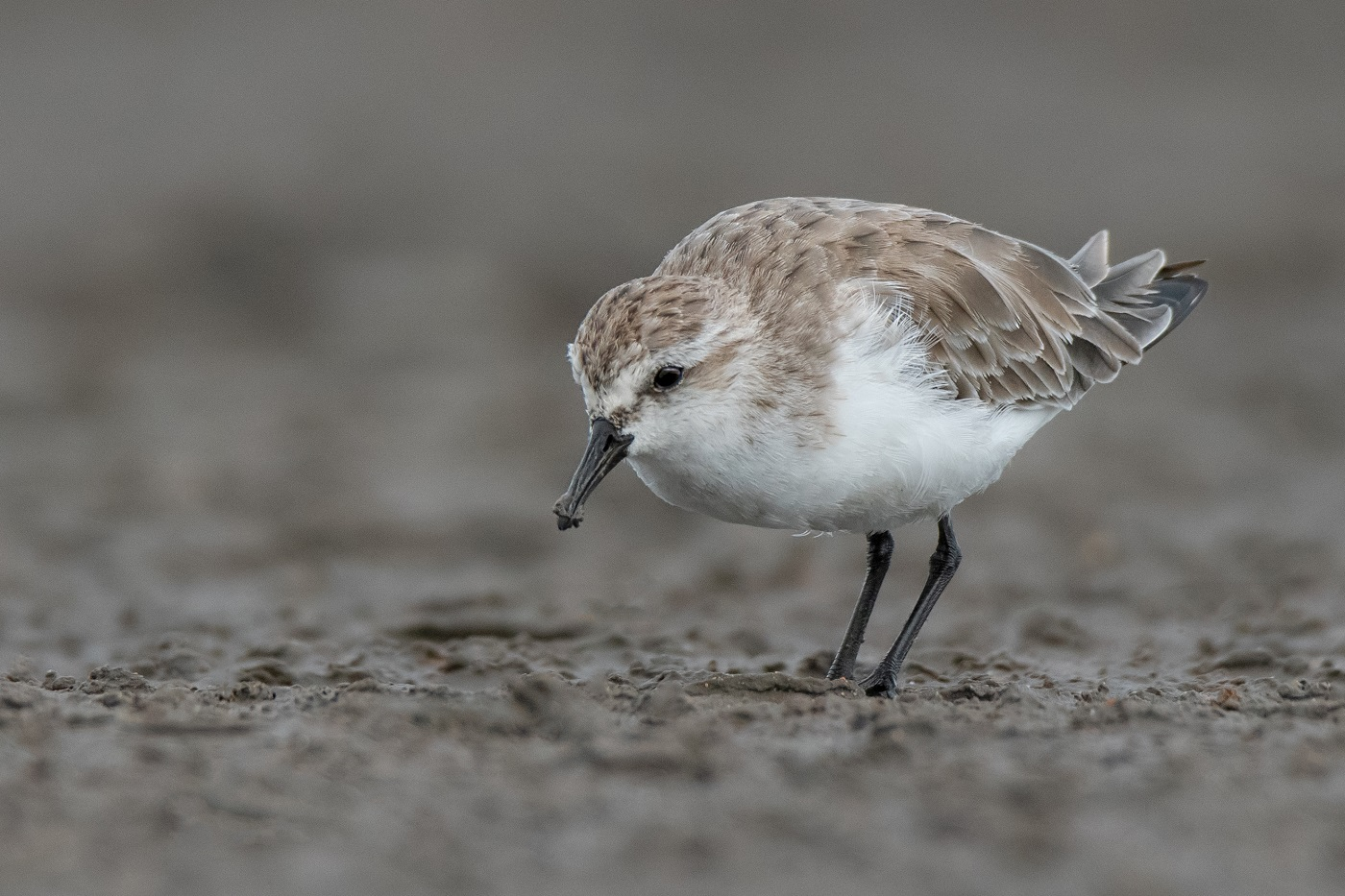 Red-necked Stint (Image ID 34384)