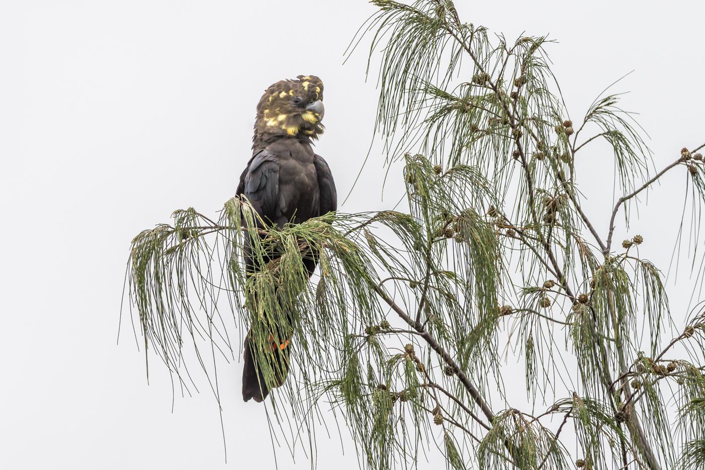 Glossy Black-Cockatoo (Image ID 34365)