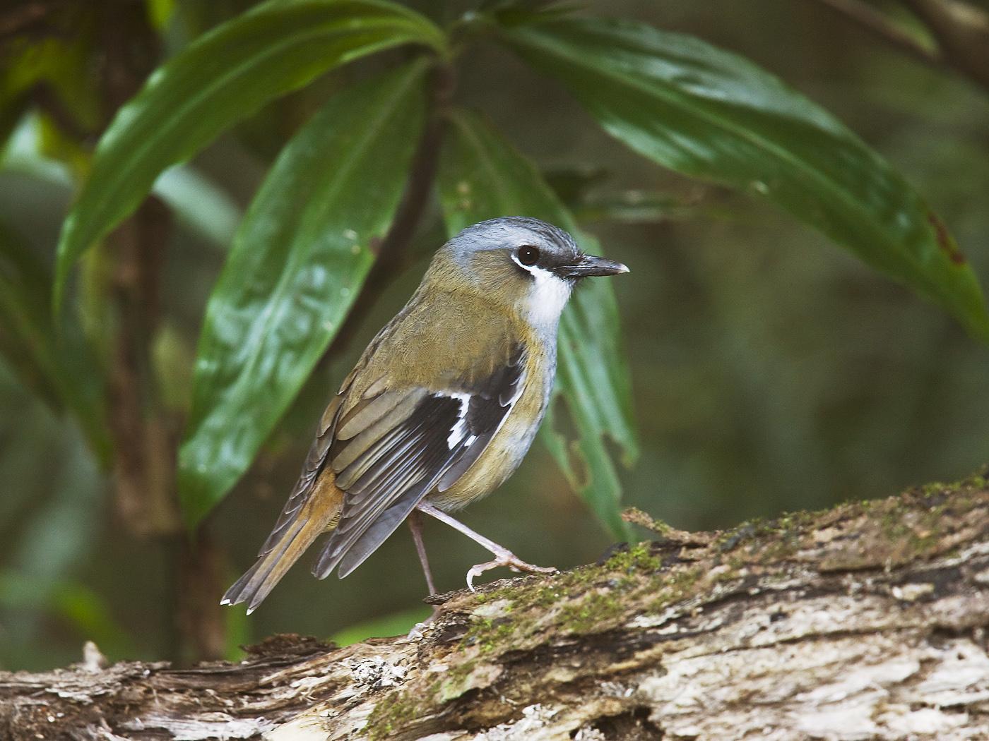 Grey-headed Robin (Image ID 34419)