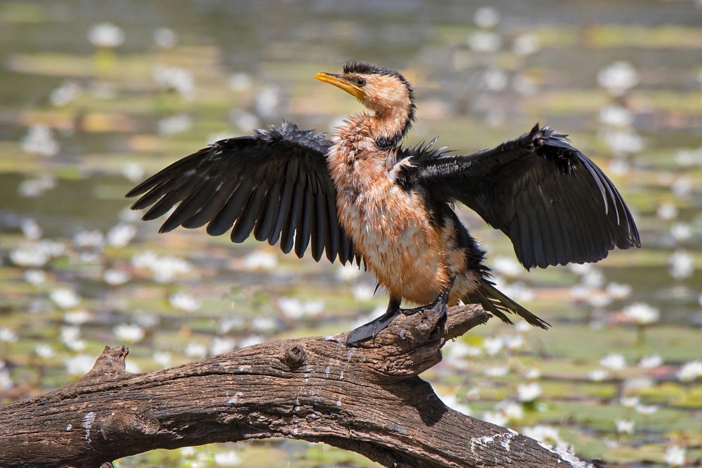 Little Pied Cormorant (Image ID 34385)