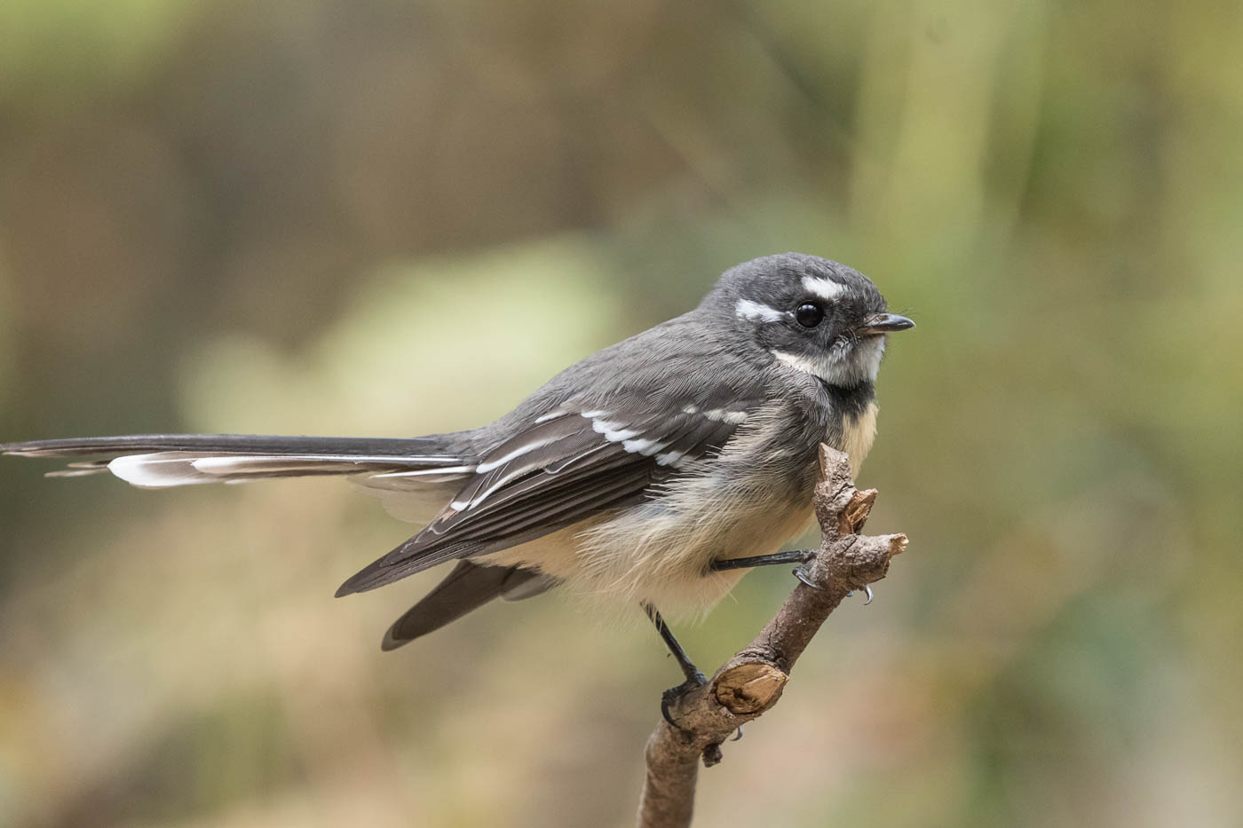 Grey Fantail (Image ID 34438)