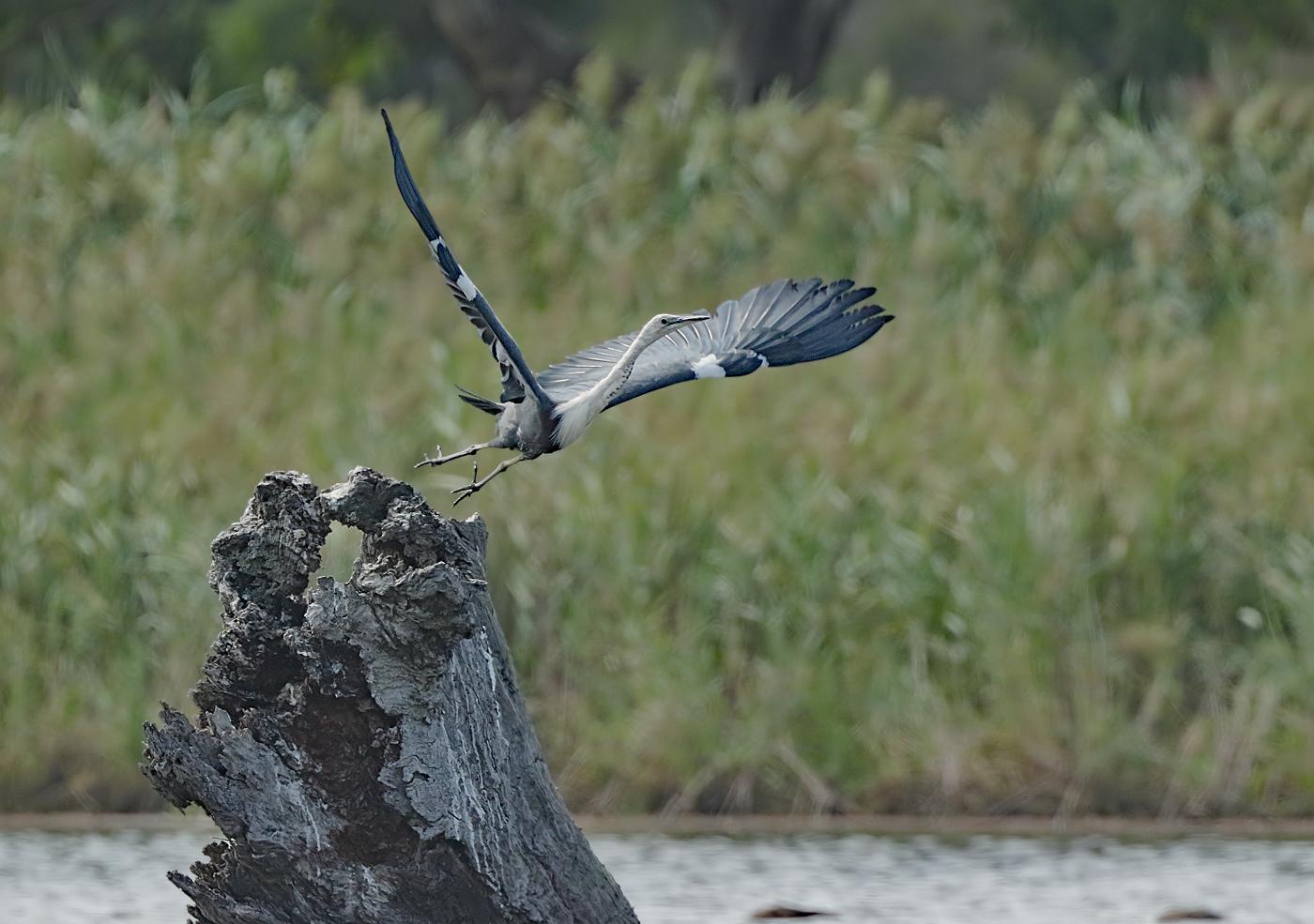White-necked Heron (Image ID 34378)