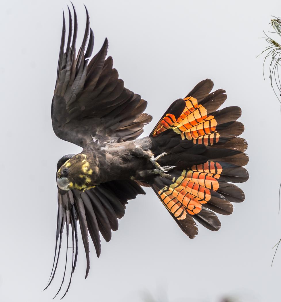 Glossy Black-Cockatoo (Image ID 34364)