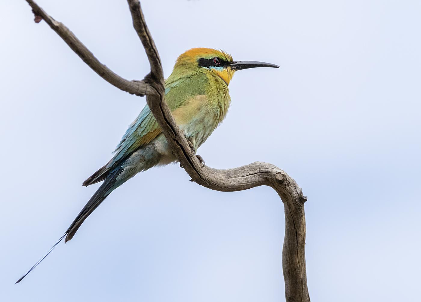 Rainbow Bee-eater (Image ID 34369)