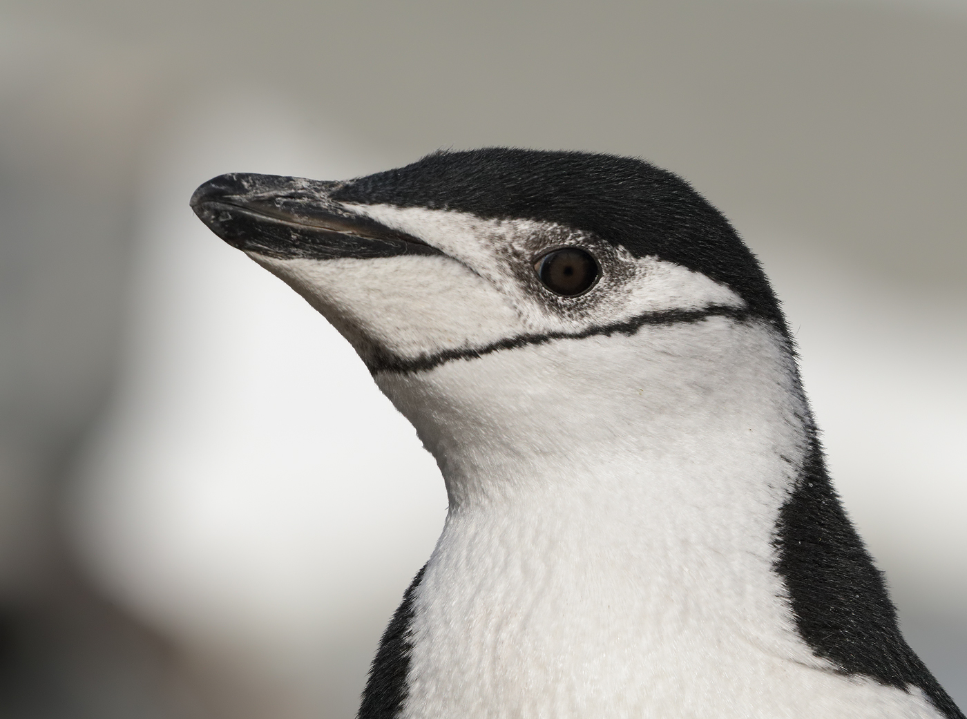 Chinstrap Penguin (Image ID 34554)