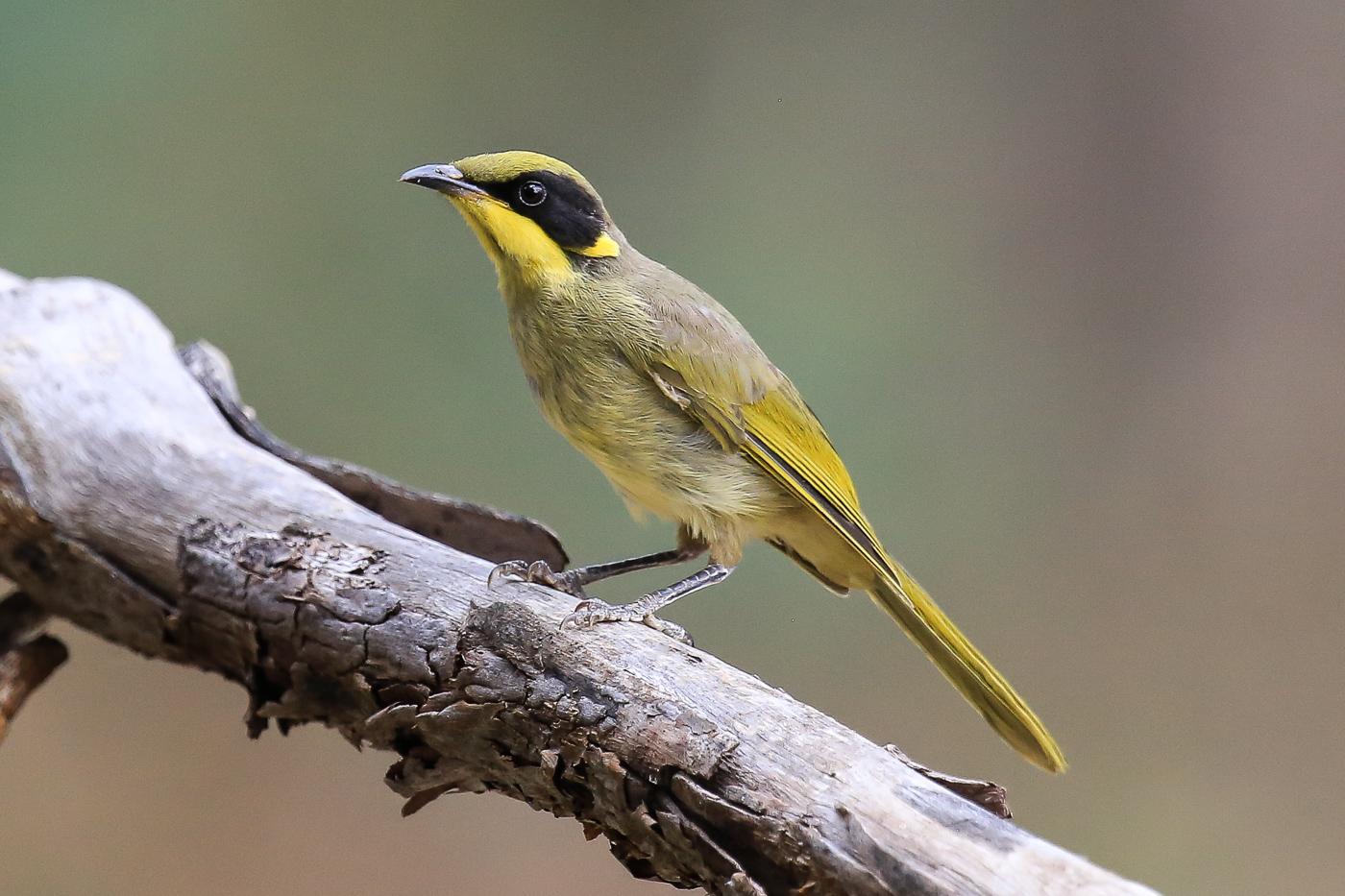 Yellow-tufted Honeyeater (Image ID 34641)
