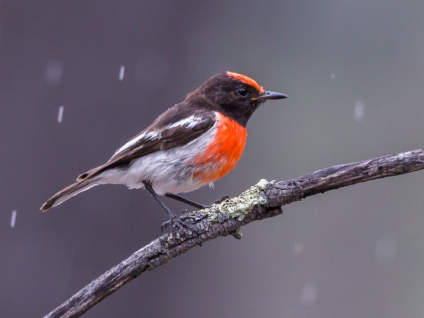 Red-capped Robin (Image ID 34393)