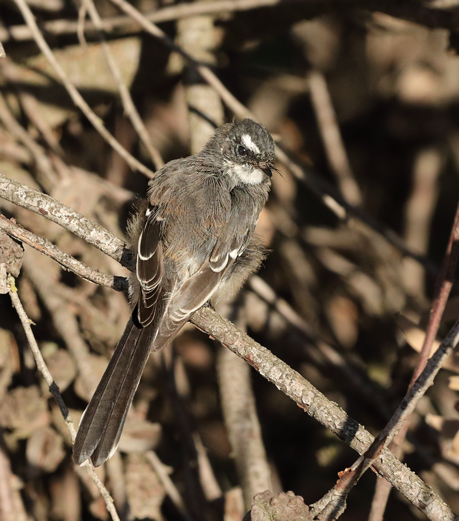 Grey Fantail (Image ID 34513)