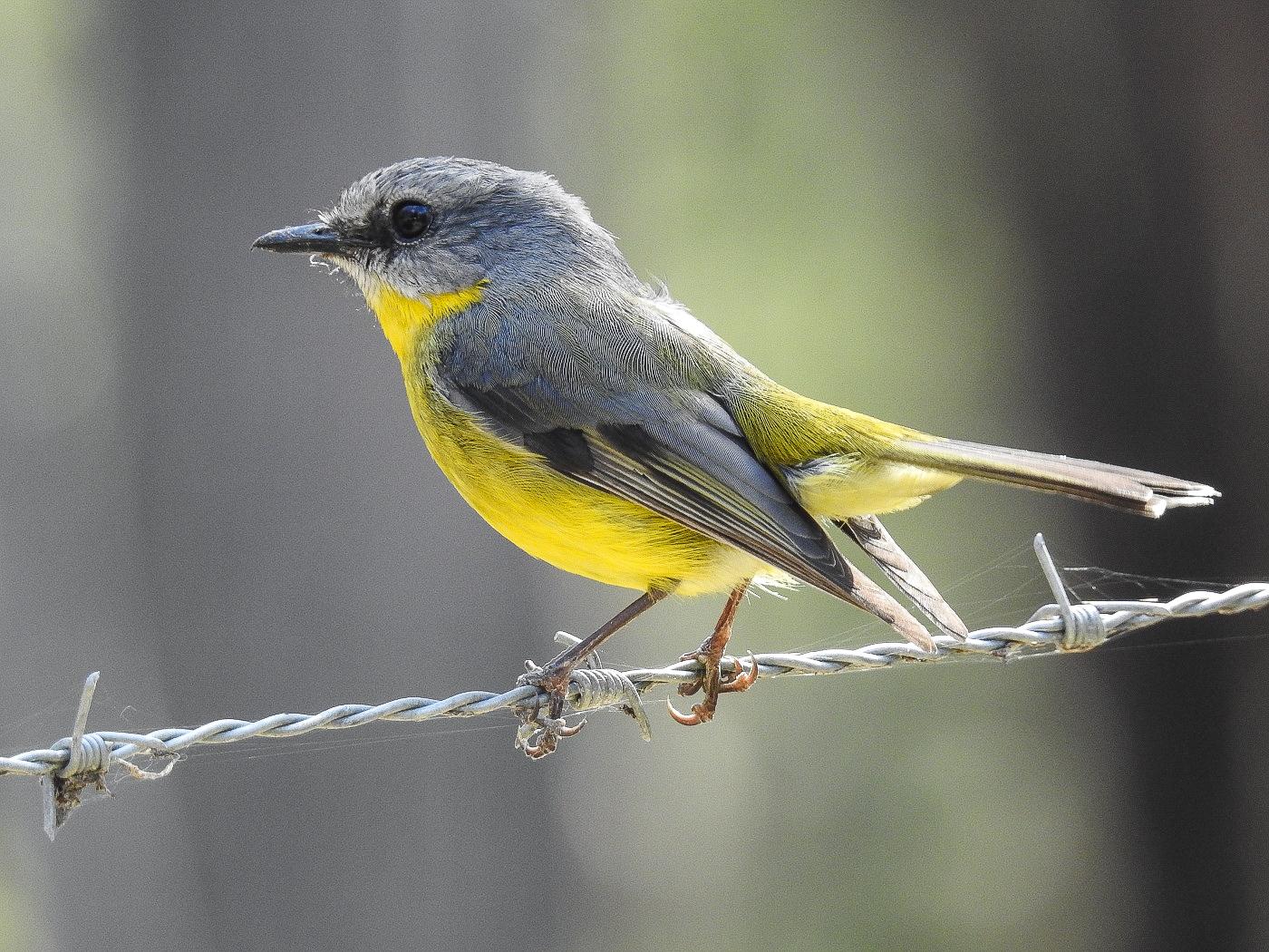 Eastern Yellow Robin (Image ID 34599)
