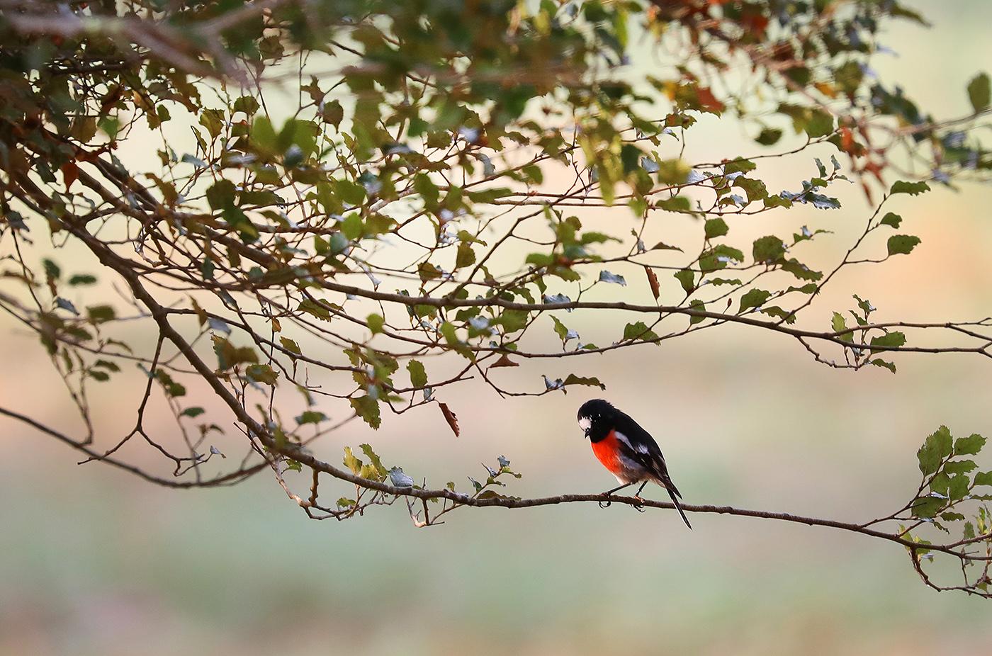 Scarlet Robin complex (Image ID 34445)