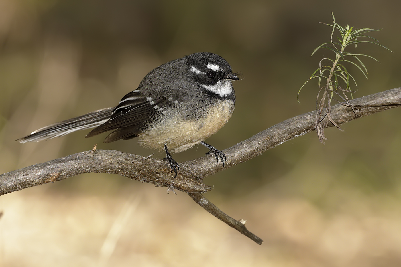 Grey Fantail complex (Image ID 34658)