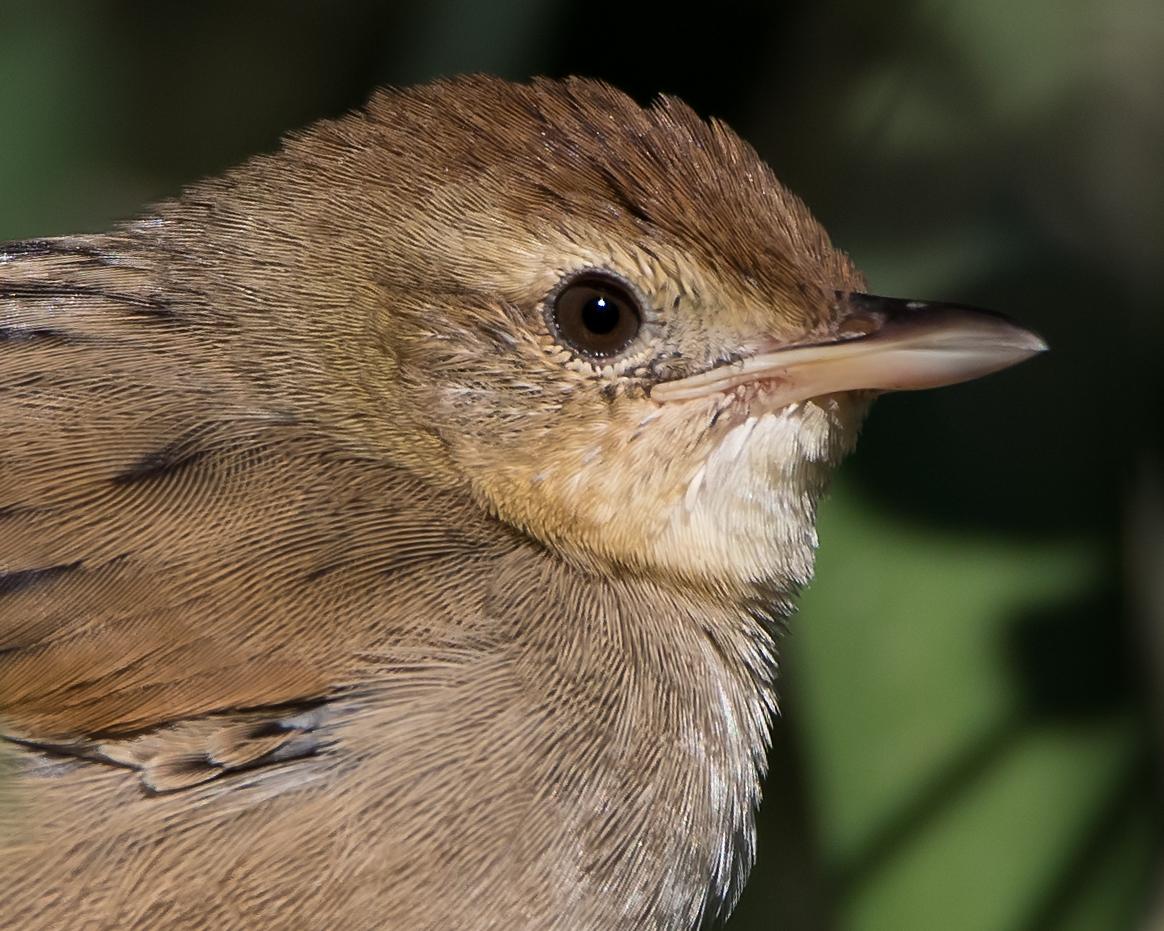 Tawny Grassbird (Image ID 34523)