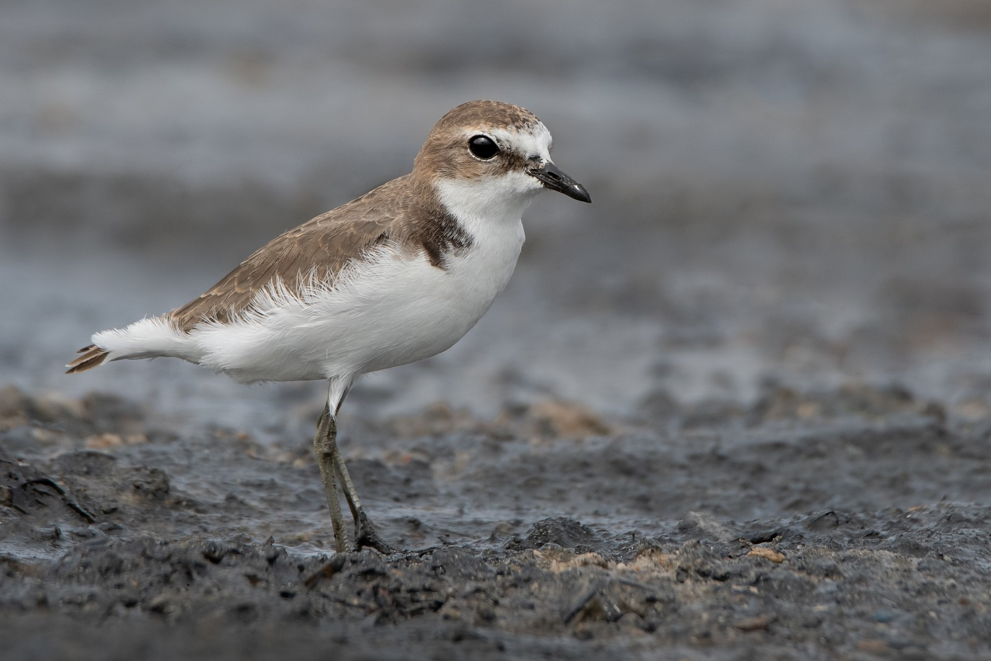 Red-capped Plover (Image ID 34498)