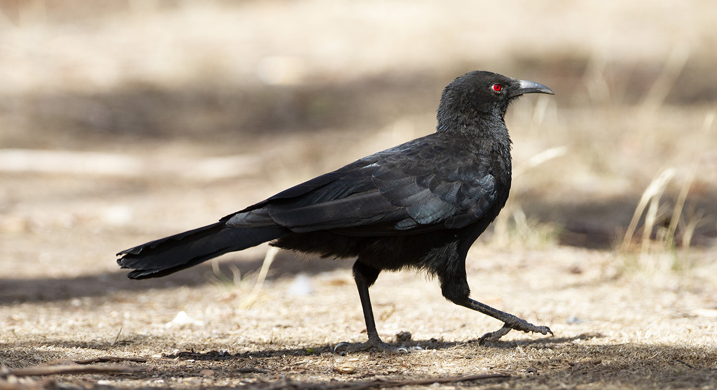 White-winged Chough (Image ID 34363)