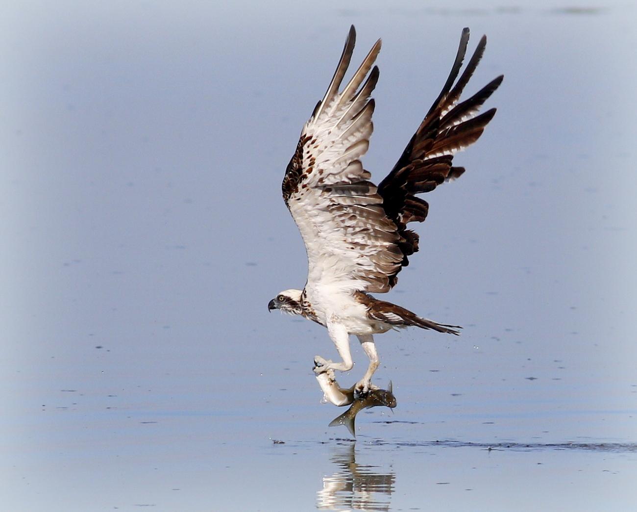 Osprey (Image ID 34626)