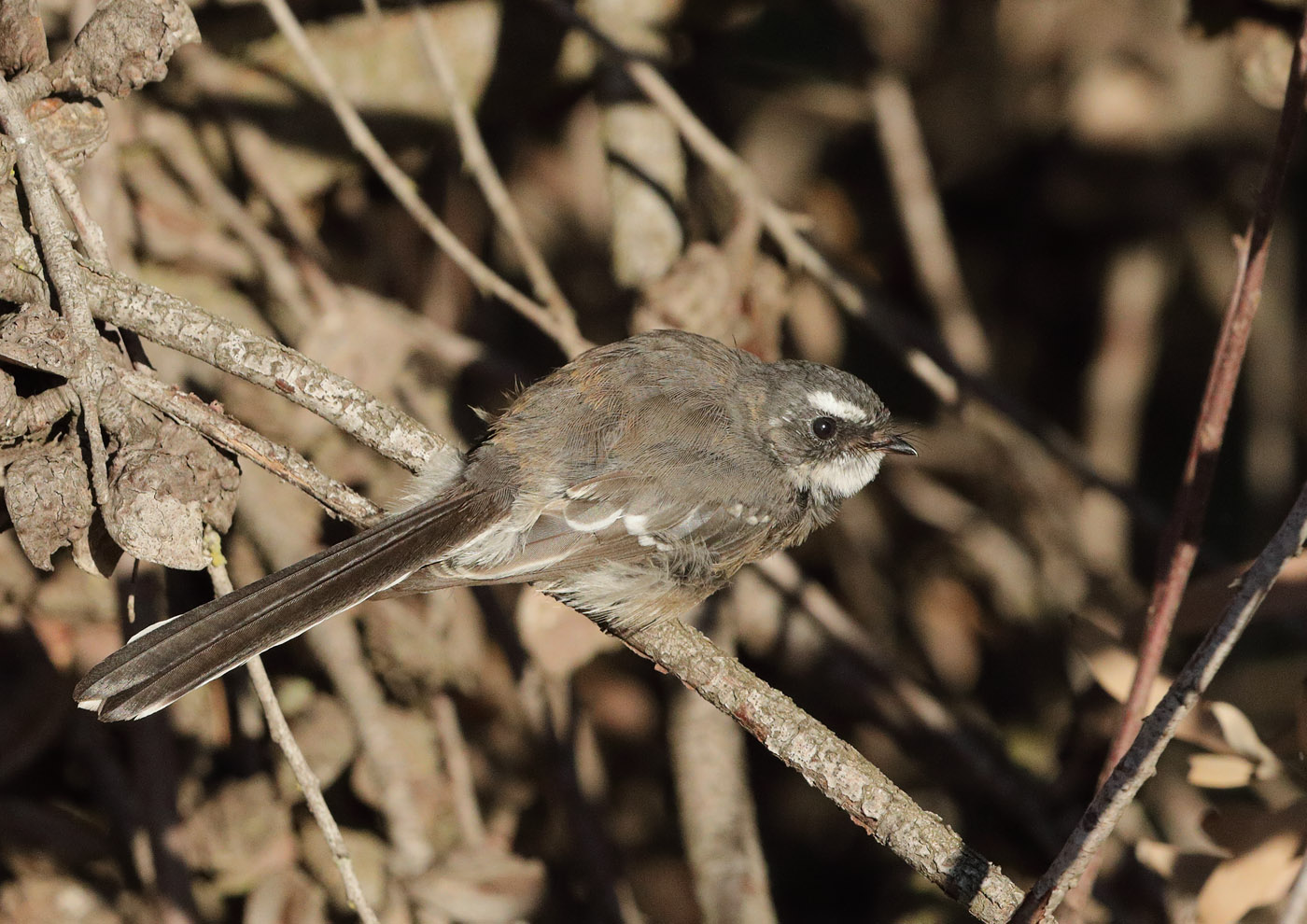 Grey Fantail (Image ID 34514)