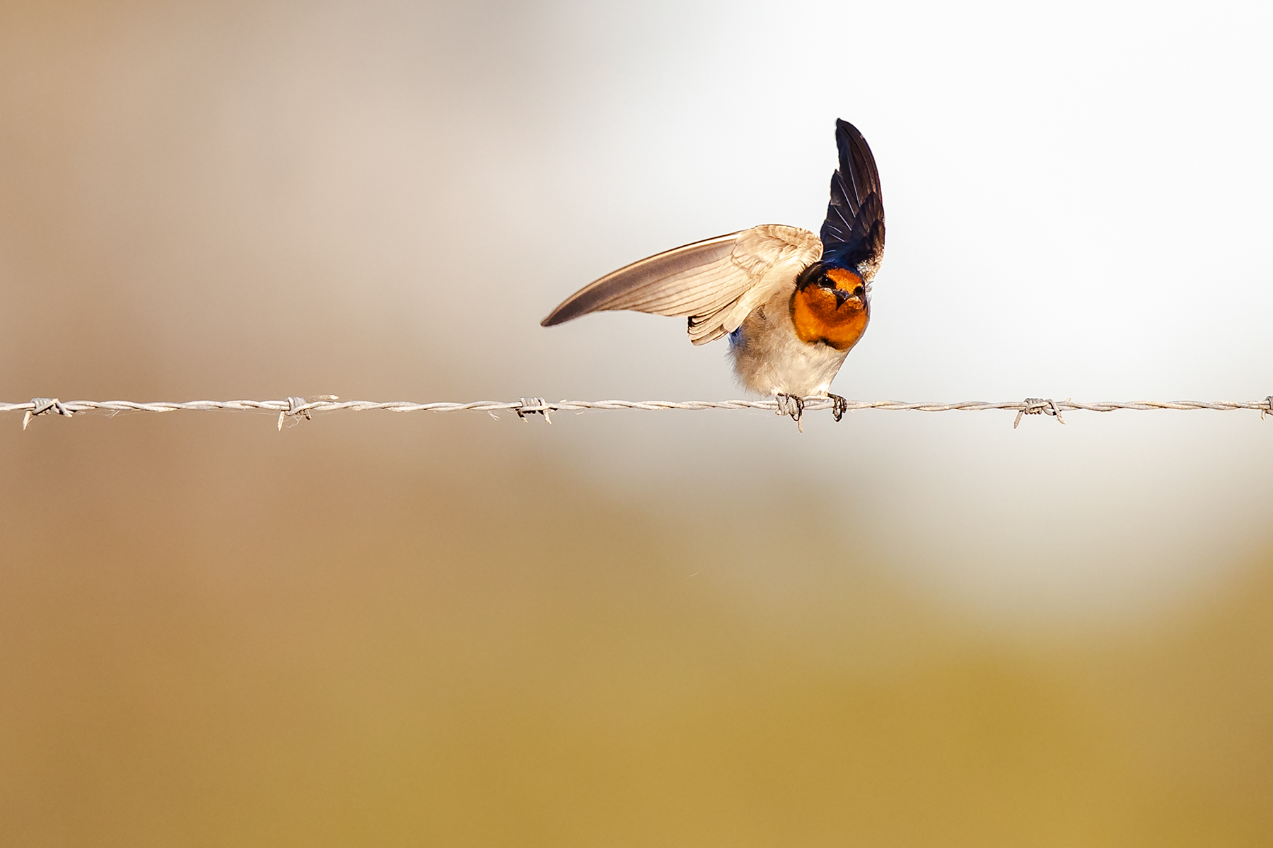 Welcome Swallow (Image ID 34593)