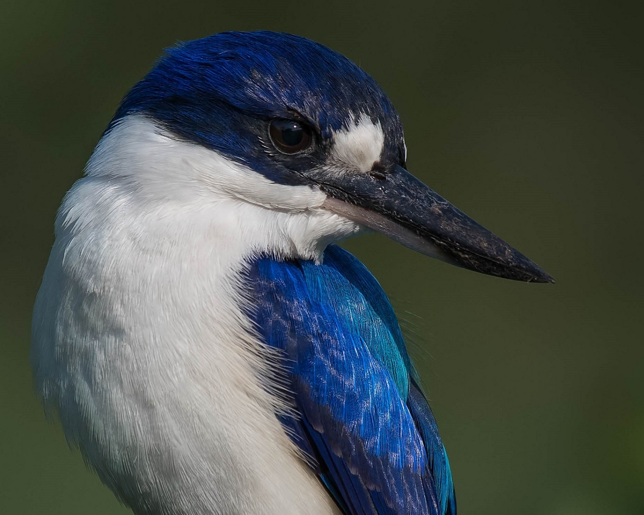 Forest Kingfisher (Image ID 34467)