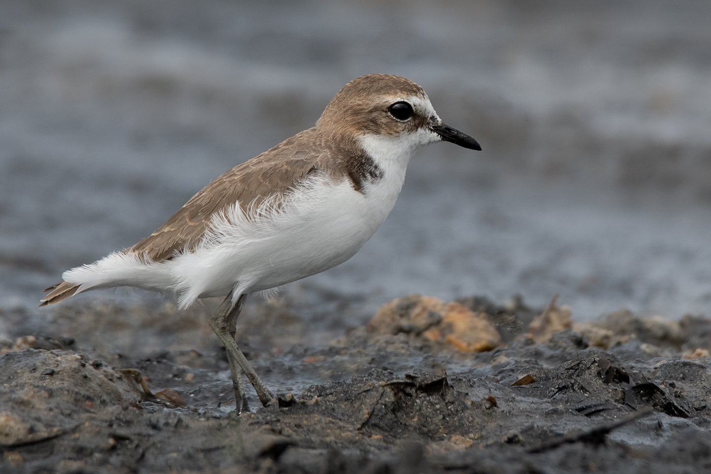 Red-capped Plover (Image ID 34497)