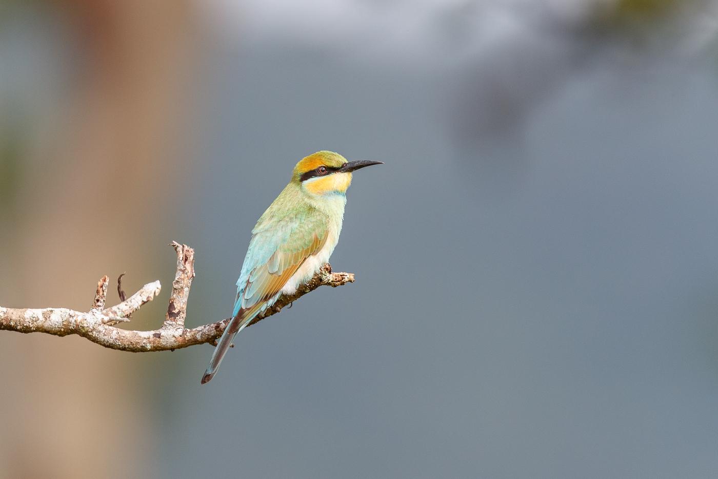 Rainbow Bee-eater (Image ID 34389)