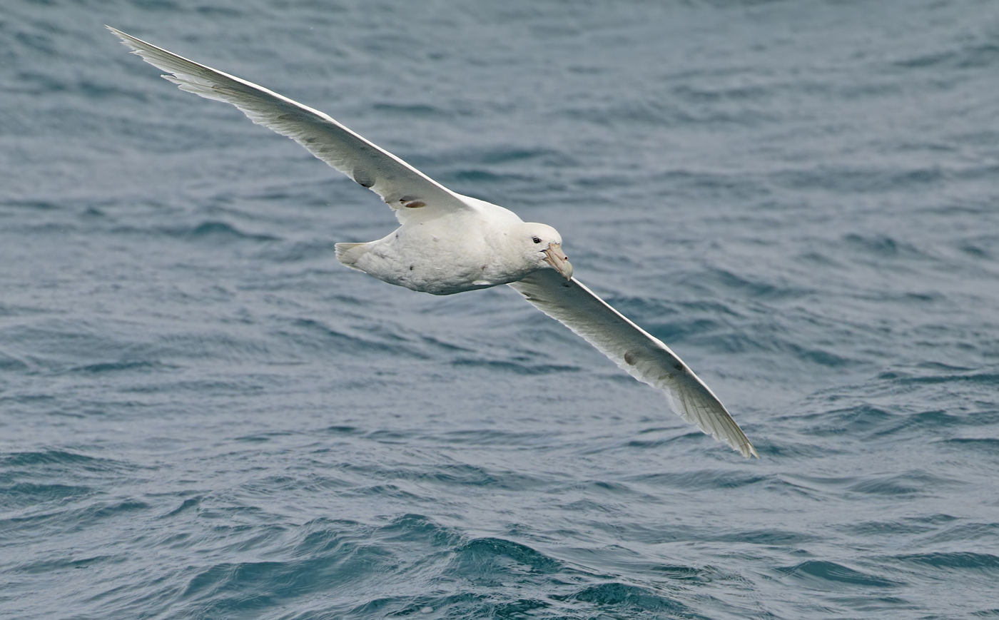 Southern Giant-Petrel (Image ID 34619)