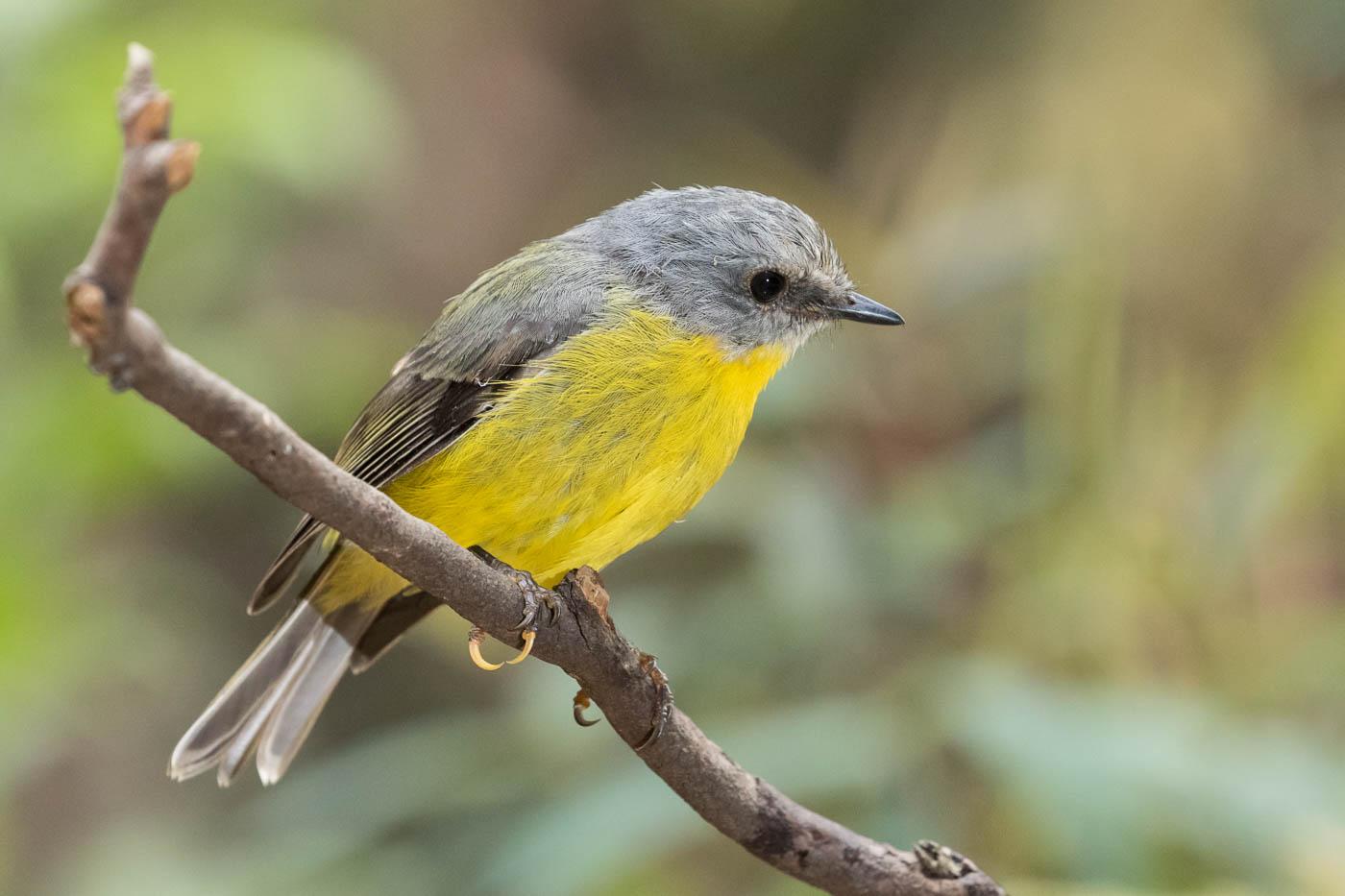 Eastern Yellow Robin (Image ID 34416)