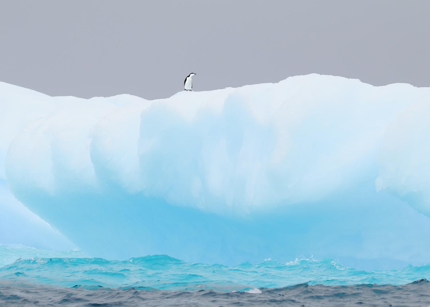 Chinstrap Penguin (Image ID 34589)