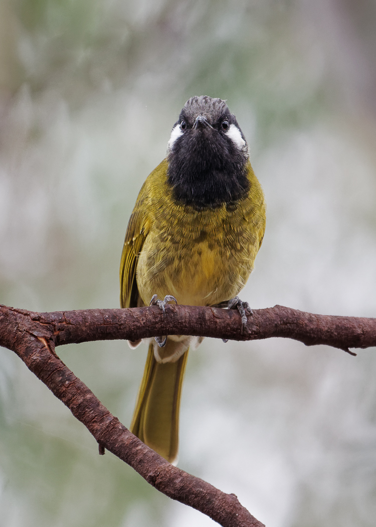 White-eared Honeyeater (Image ID 34524)