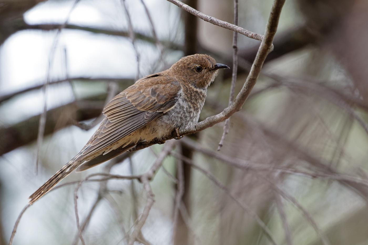 Fan-tailed Cuckoo (Image ID 34526)