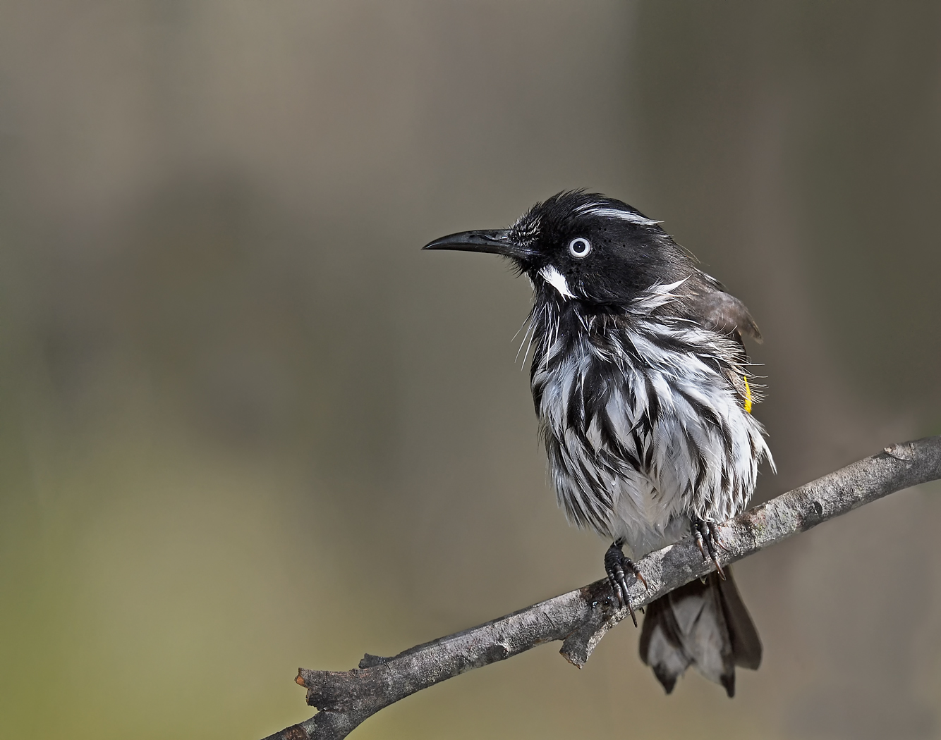 New Holland Honeyeater (Image ID 34506)