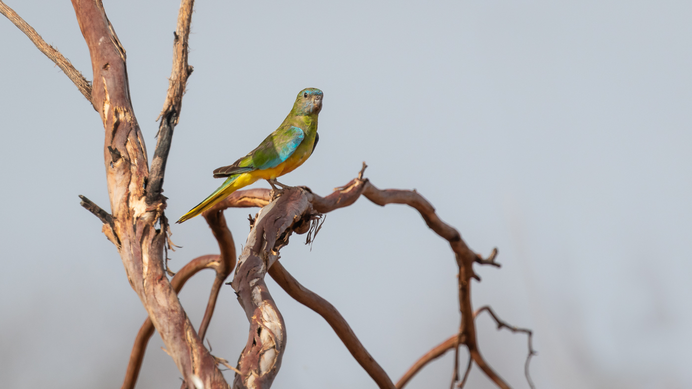 Scarlet-chested Parrot (Image ID 34464)