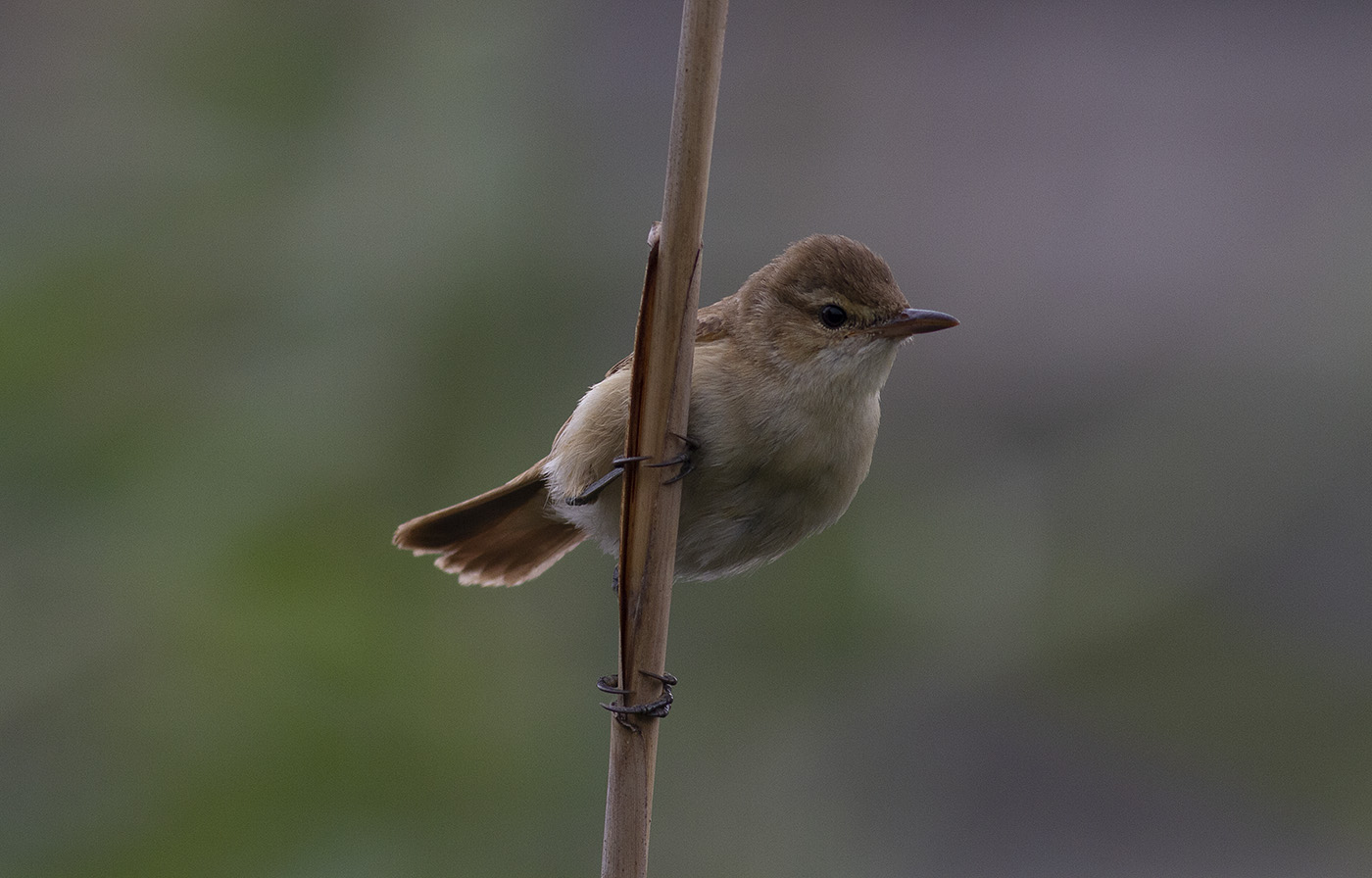 Australian Reed-Warbler (Image ID 34458)