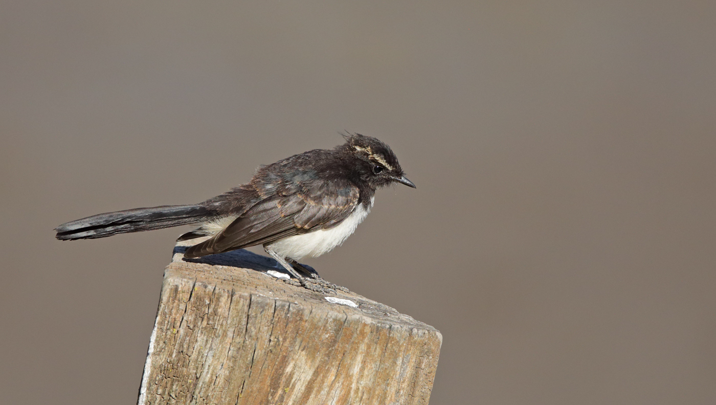 Willie Wagtail (Image ID 34462)