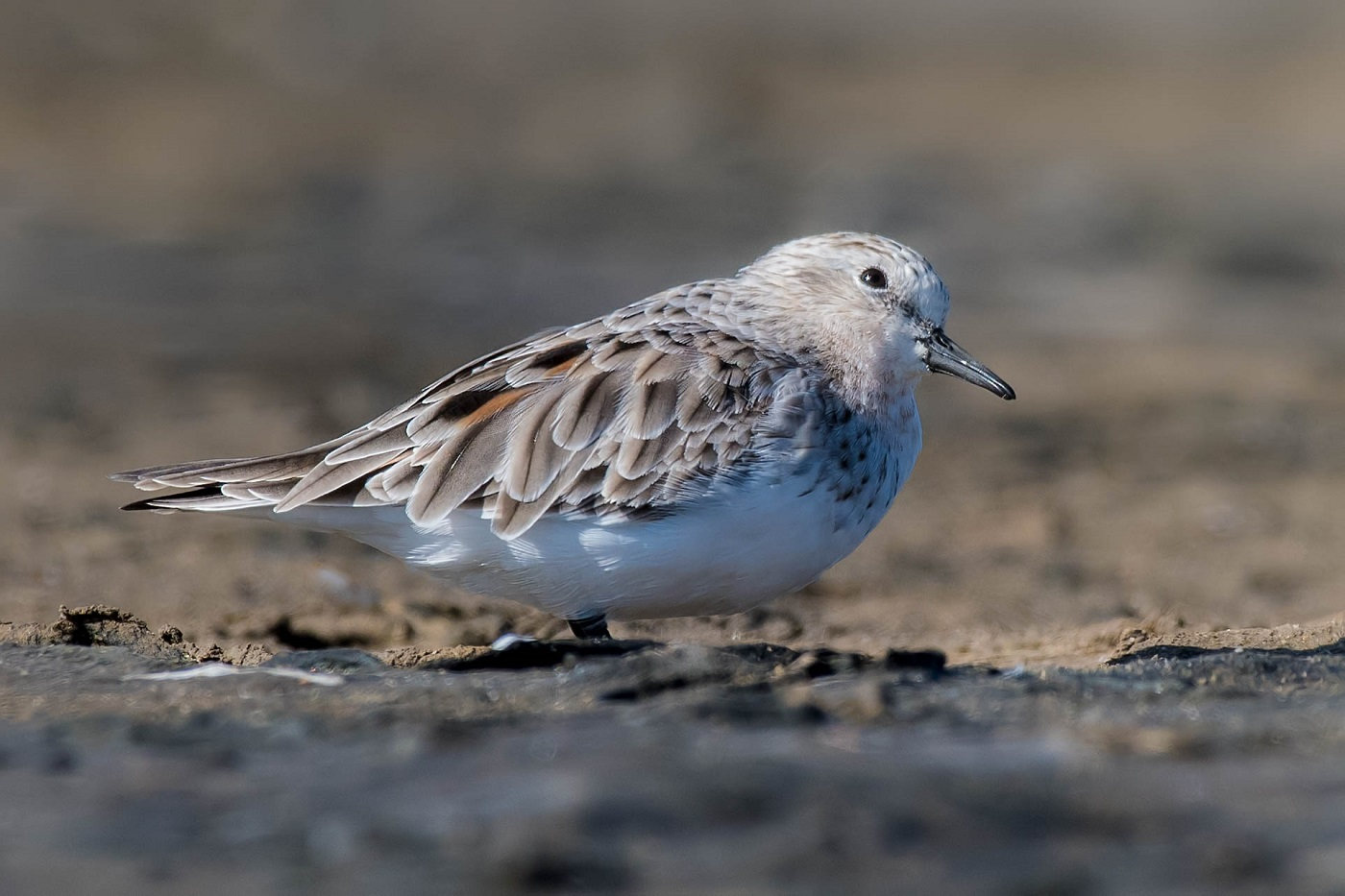 Red-necked Stint (Image ID 34468)