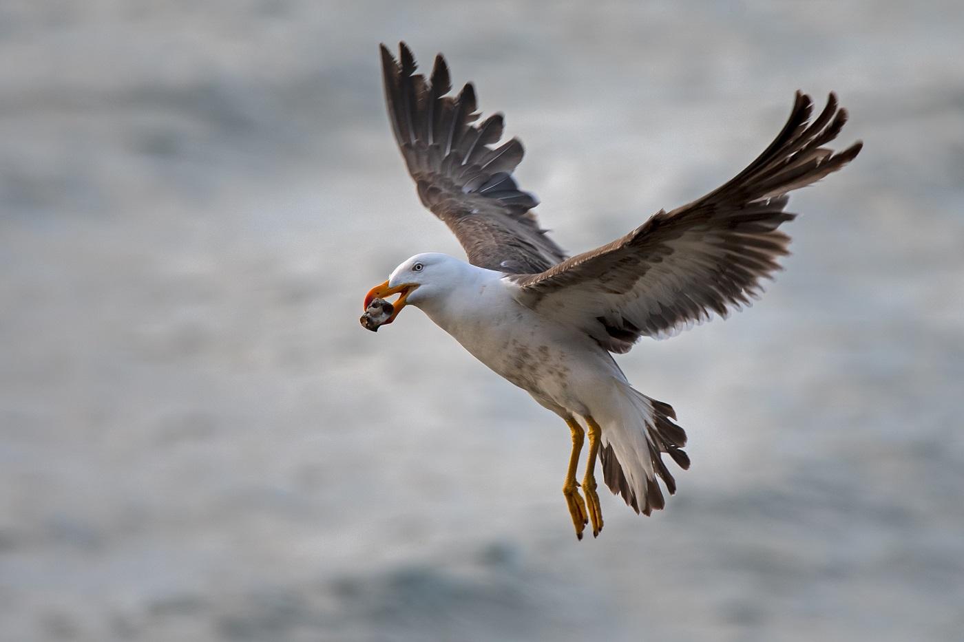 Pacific Gull (Image ID 34483)