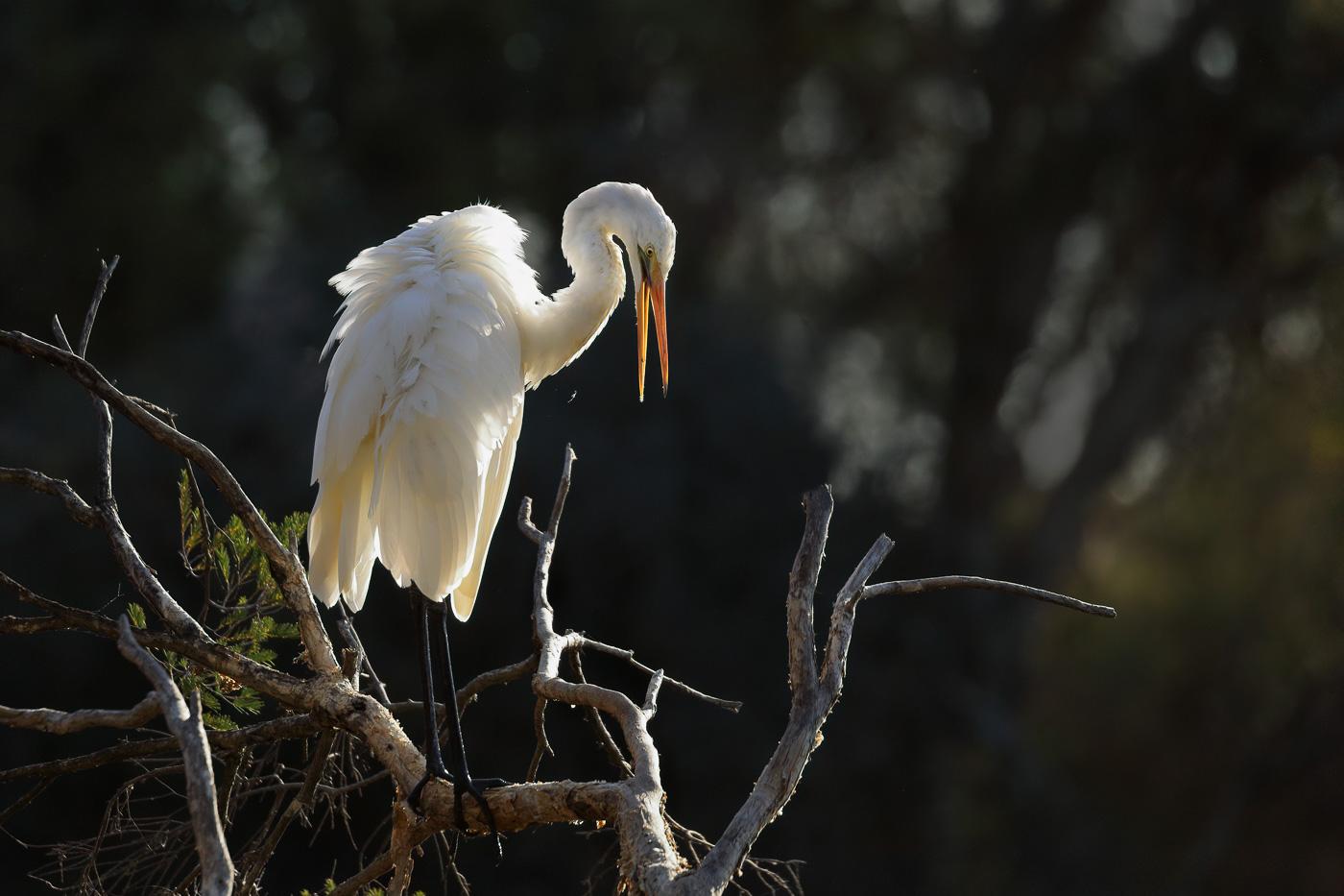 Great Egret (Image ID 34597)