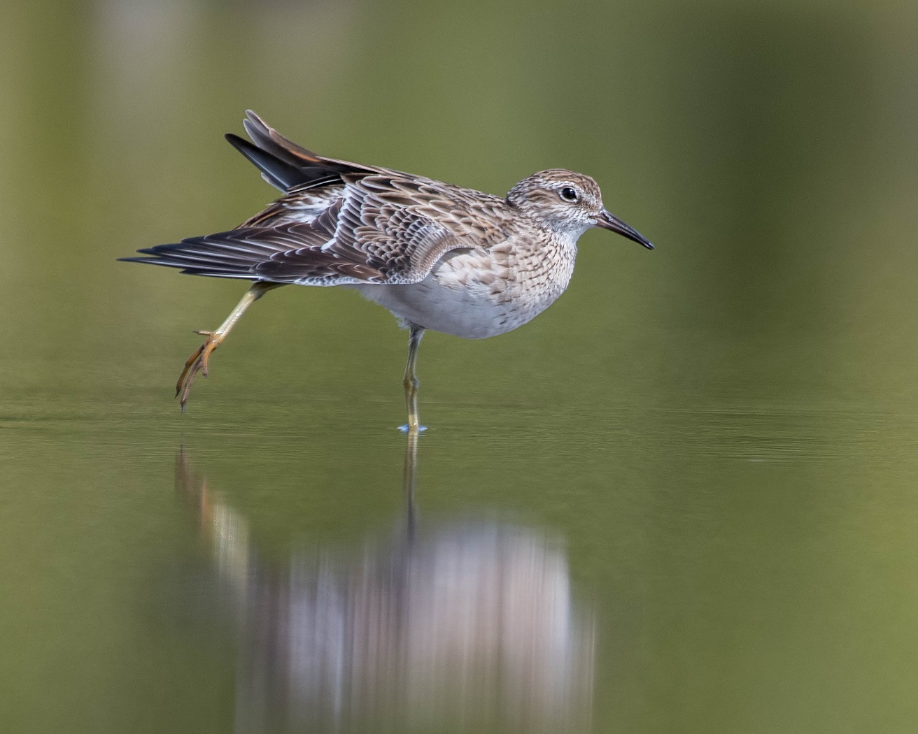 Sharp-tailed Sandpiper (Image ID 34406)