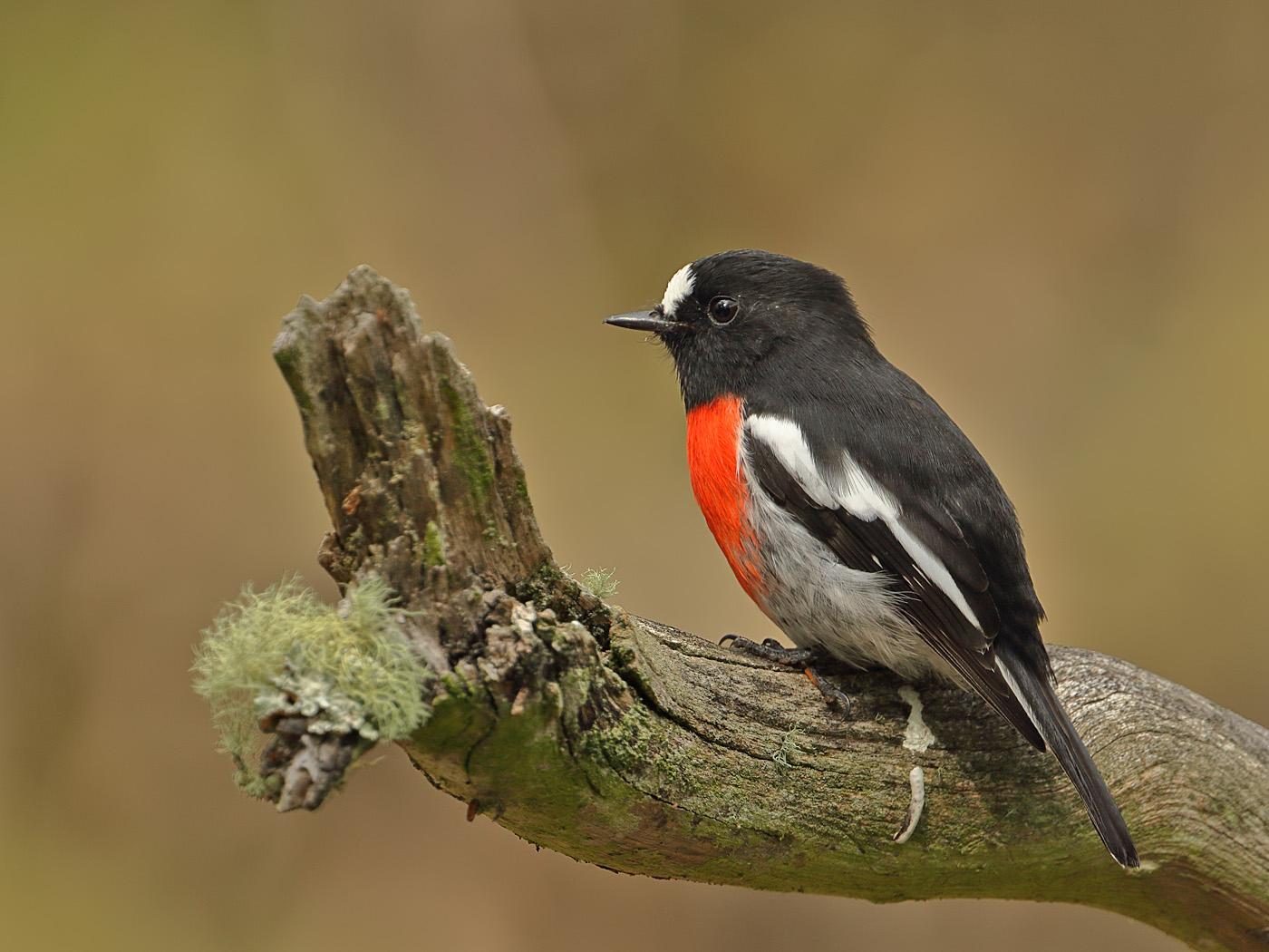 Scarlet Robin complex (Image ID 34555)