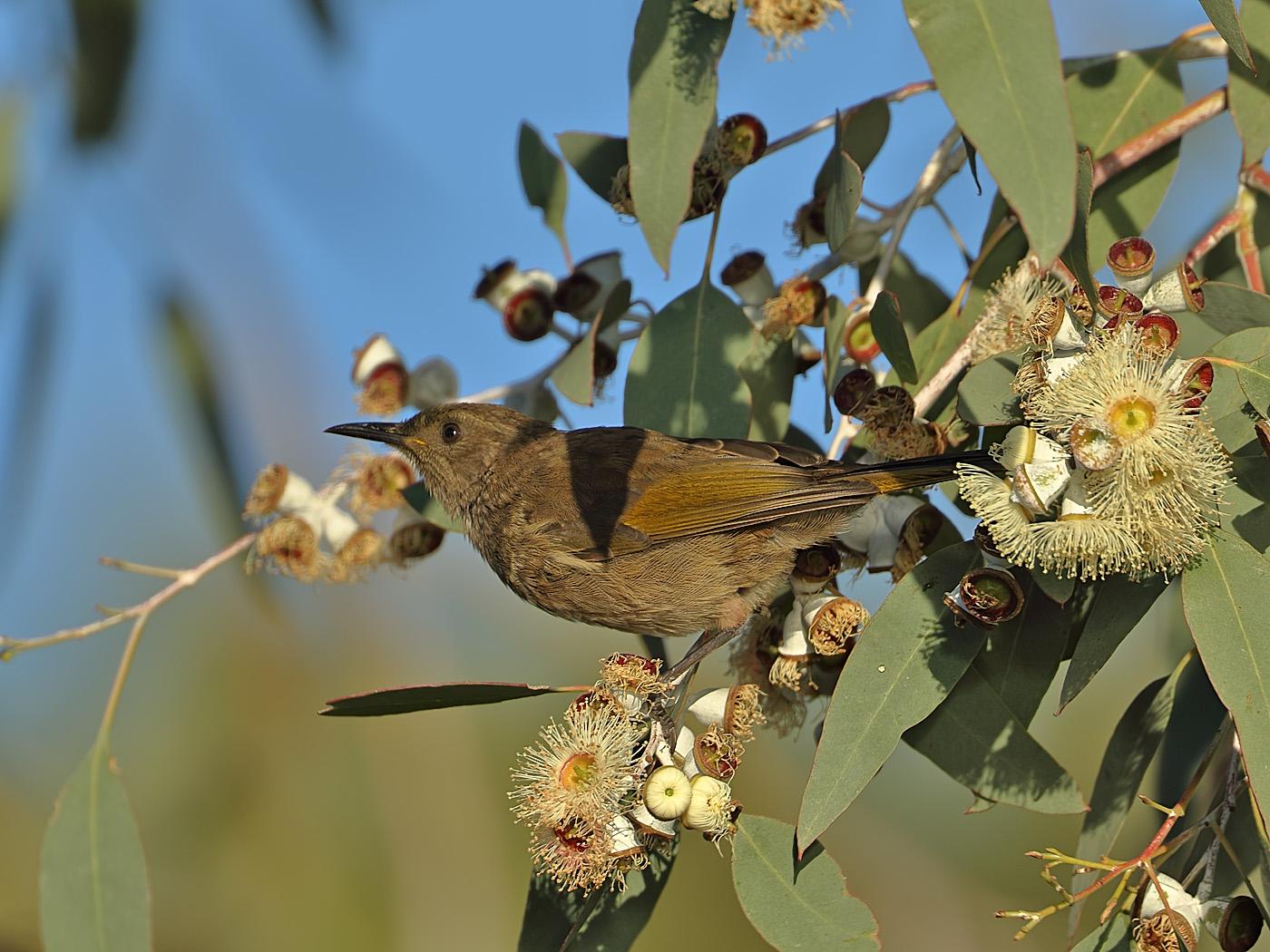Crescent Honeyeater (Image ID 34637)