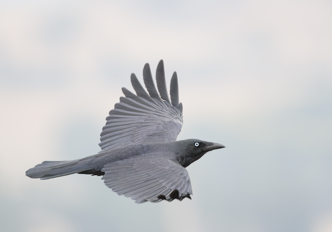 Little Raven (Image ID 34466)