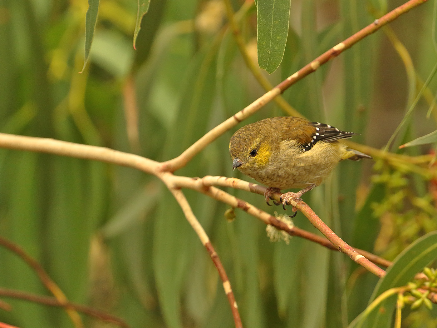 Forty-spotted Pardalote (Image ID 34586)