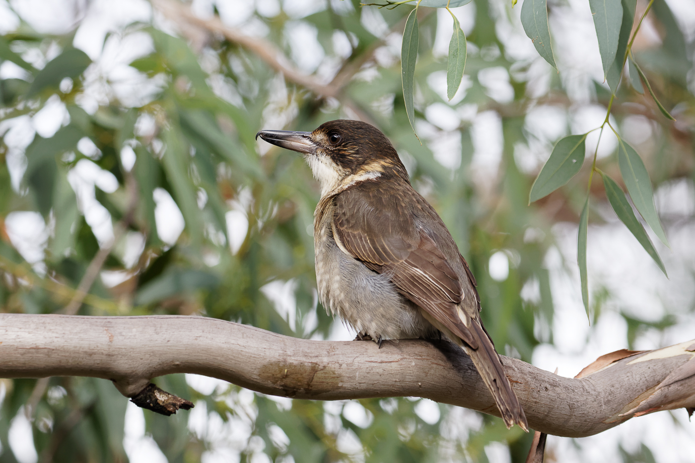 Grey Butcherbird (Image ID 34525)