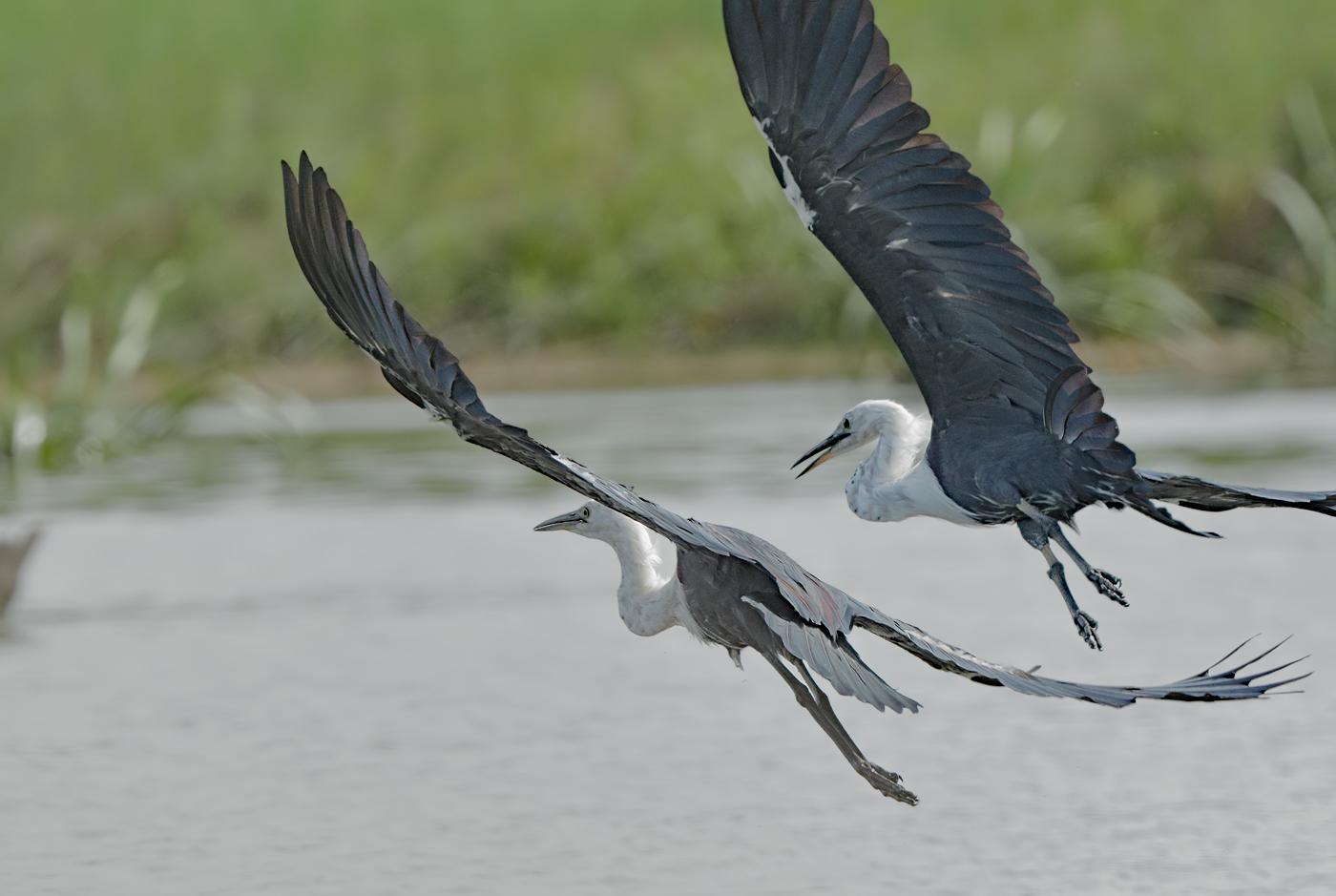 White-necked Heron (Image ID 34380)